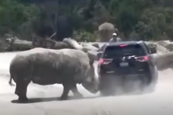 (影片)Nissan休旅車成了大犀牛把妹的犧牲品!