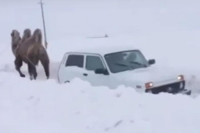 駱駝幫忙雪中脫困?戰鬥名族果然不是浪得虛名!